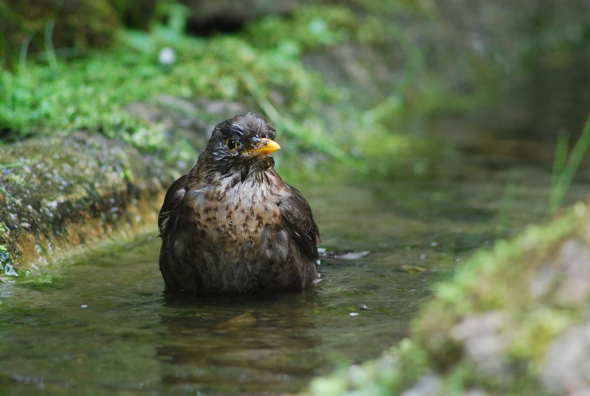 Eine Amsel badet.
